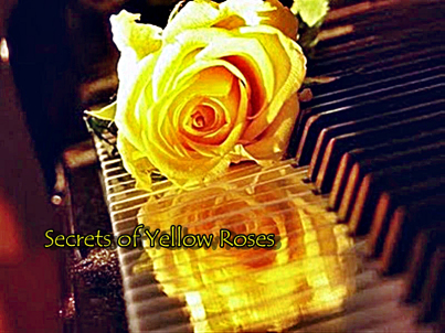secrets of yellow roses